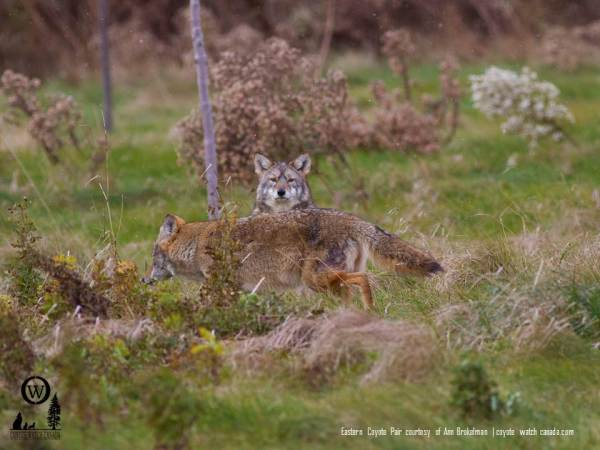 Coexisting with Coyotes Presentation